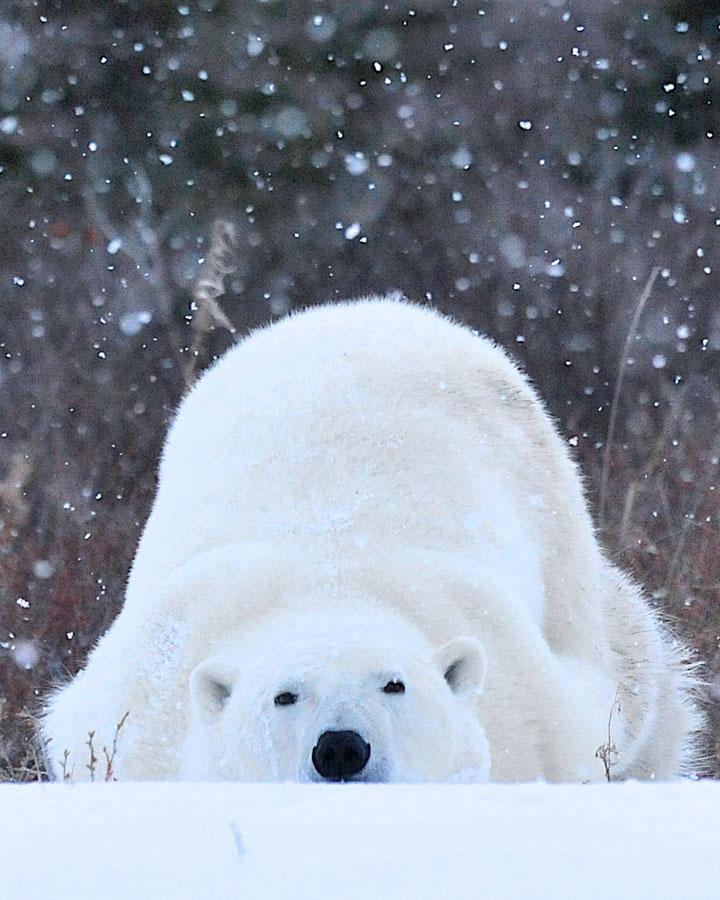 Sleepy polar bear in the snow at Churchill Wild, Manitoba