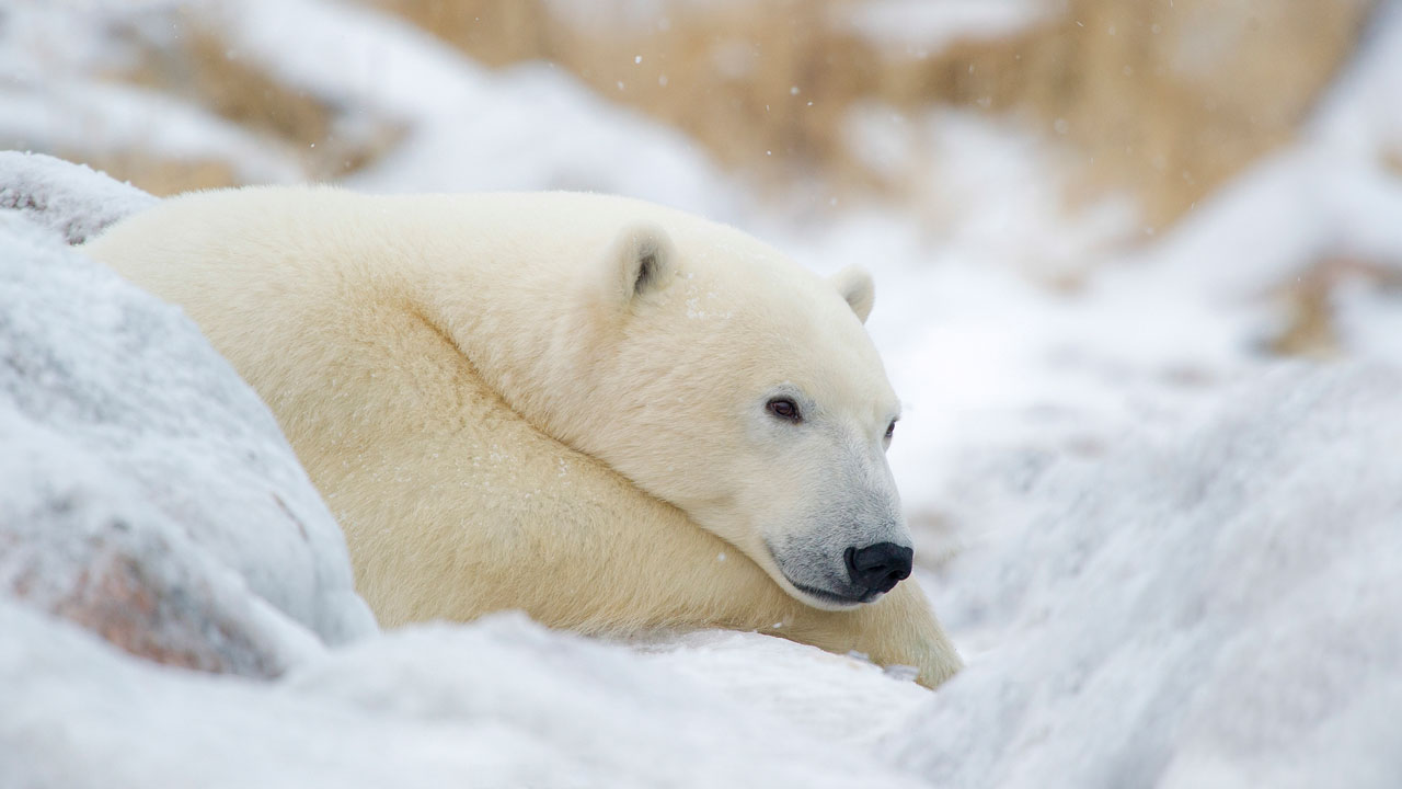 Polar Bear at Churchill Wild, Manitoba