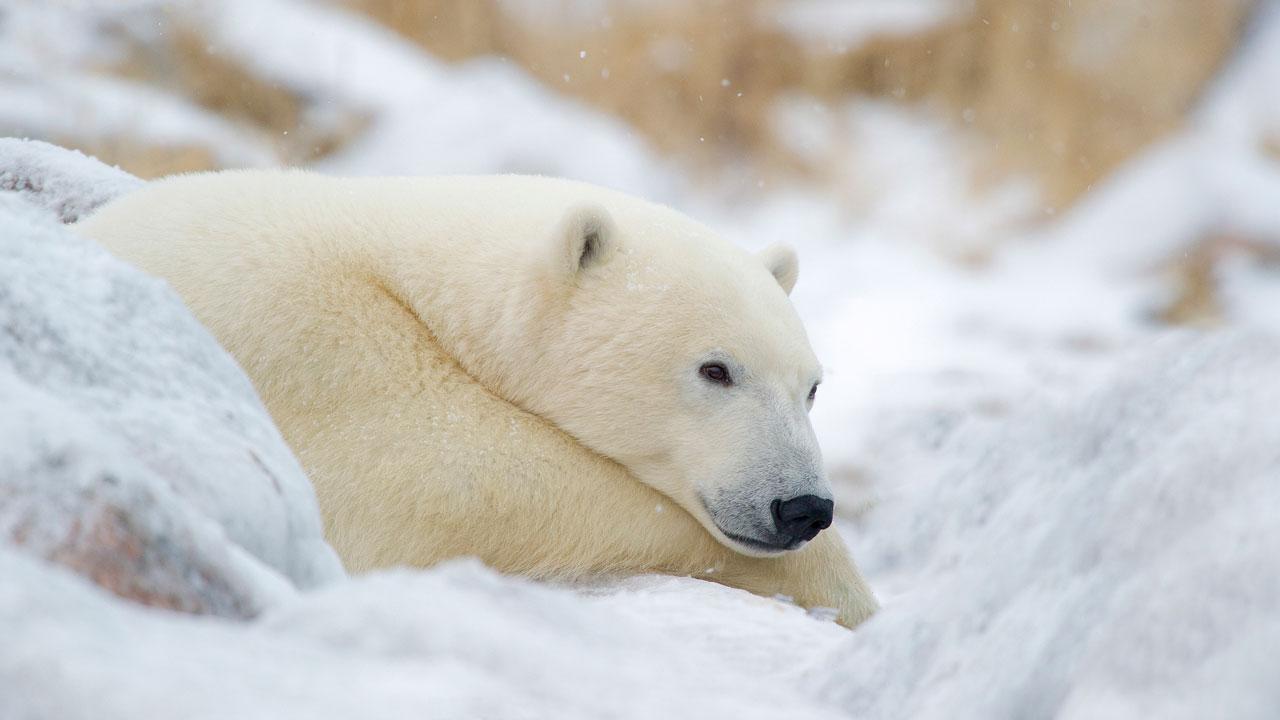Polar Bear at Churchill Wild, Manitoba