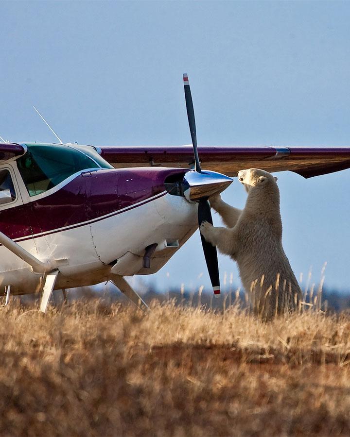 Polar bear and plane near Churchill Wild, Manitoba