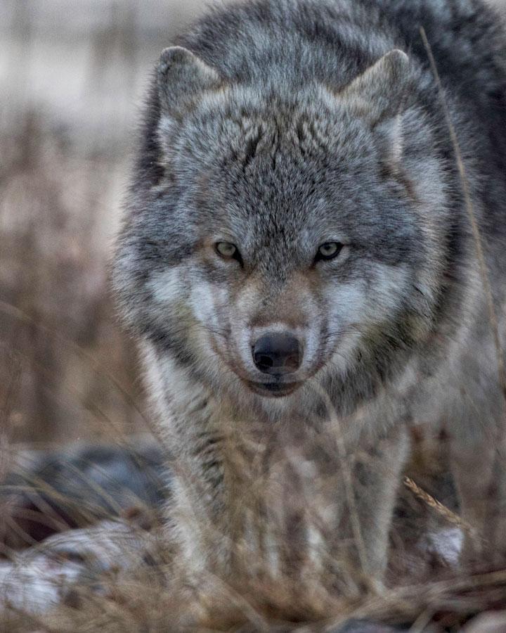 Wolf at Churchill Wild, Mantioba