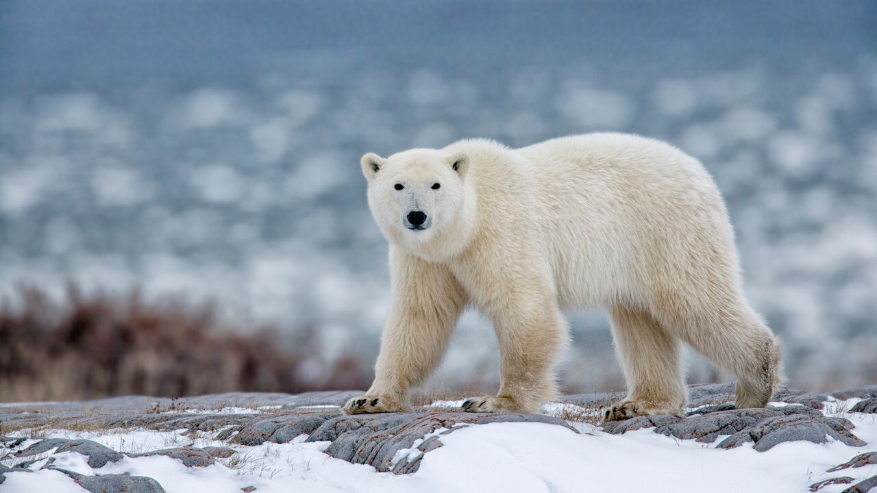 Polar bear walking on snowy mountain.