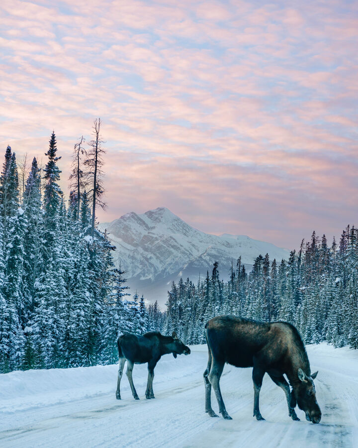 Moose in front of Pyramid Mountain, Jasper National Park.