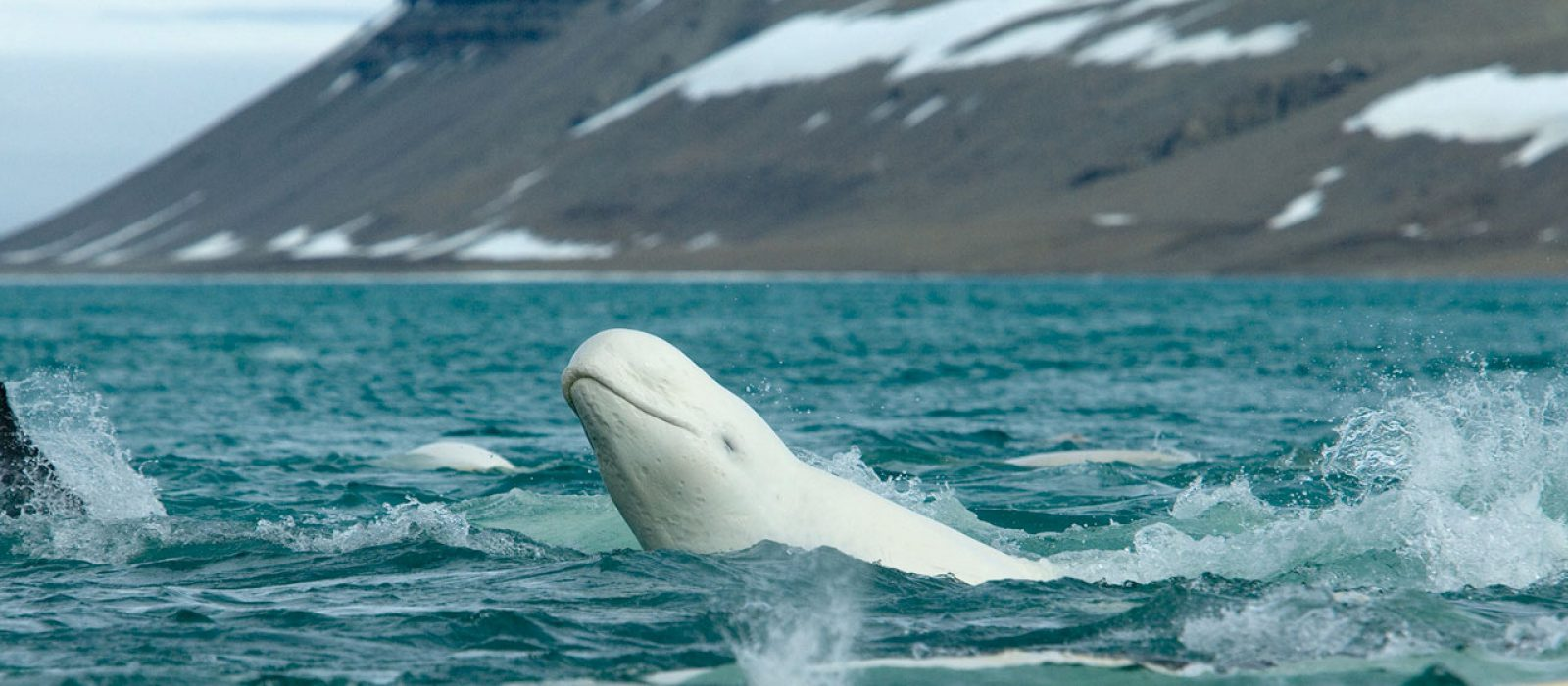 Belugas in Cunningham Inlet with Arctic Watch in Nunavut