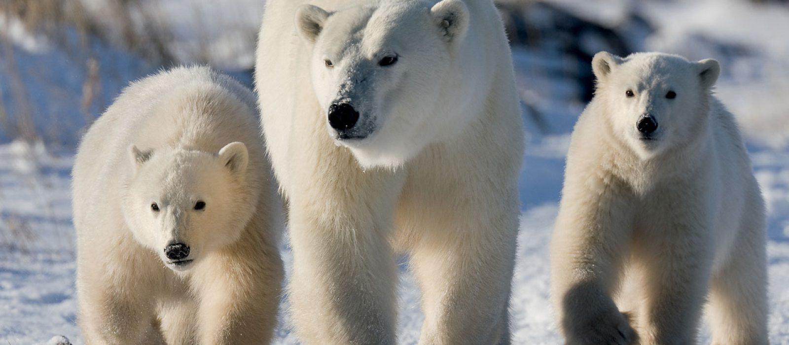 Polar bear family at Churchill Wild, Manitoba