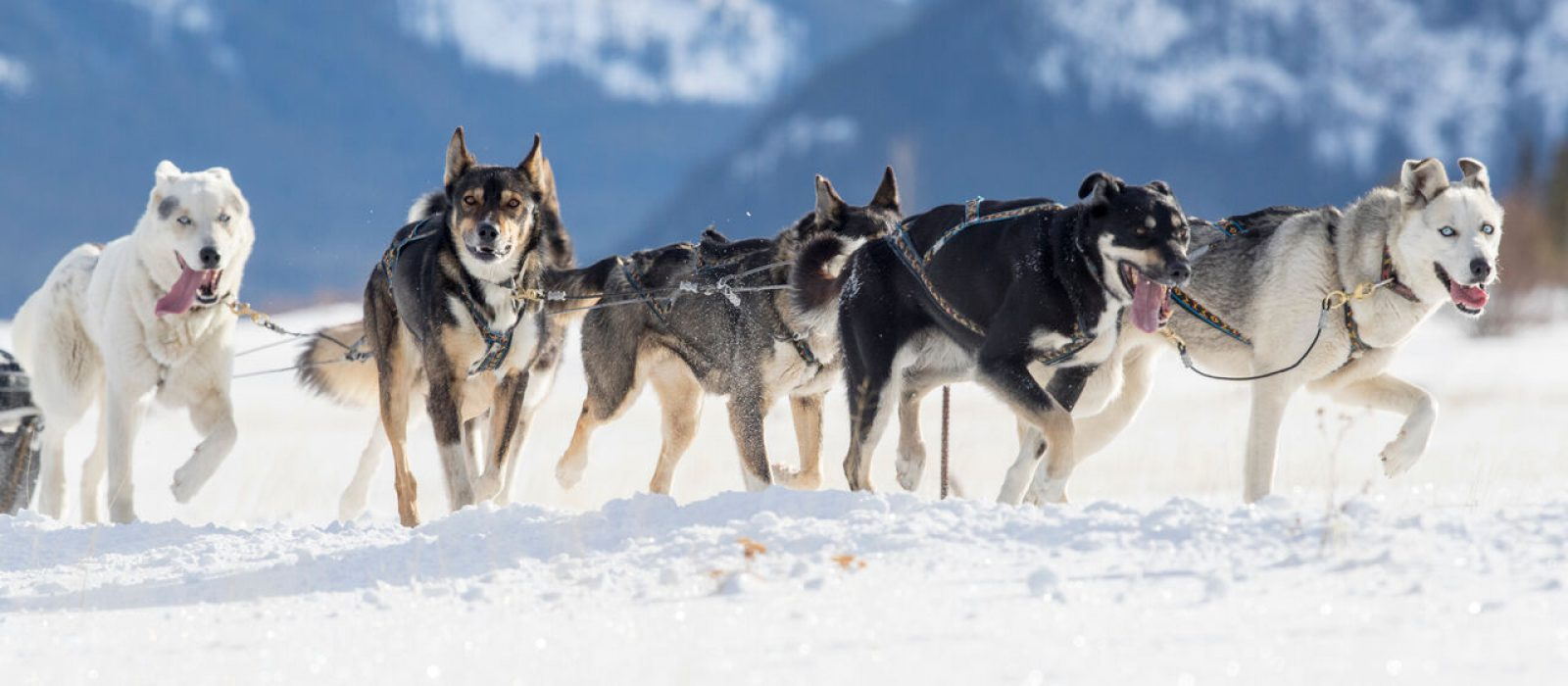 A team of huskies pulling a sled through the snow. Taken in Kananaskis Country, Alberta
