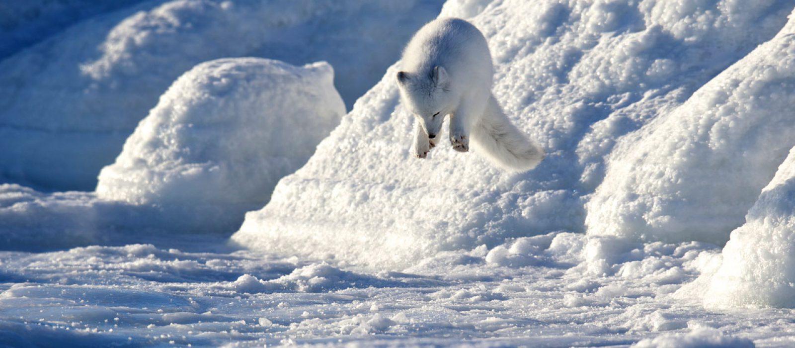 Leaping fox at Churchill Wild, Manitoba