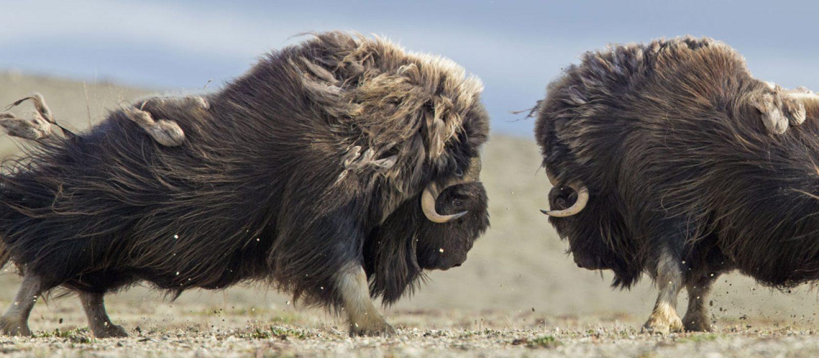 Muskoxen rutting in Nunavut in Canada's Arctic