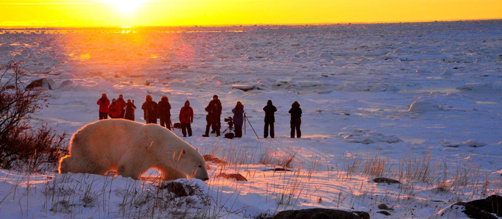 Photographing a polar bear at sunset, Churchill Wild, Manitoba