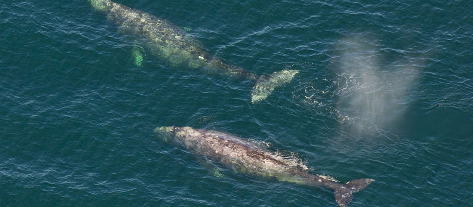 Whales in the ocean near Tofino, BC