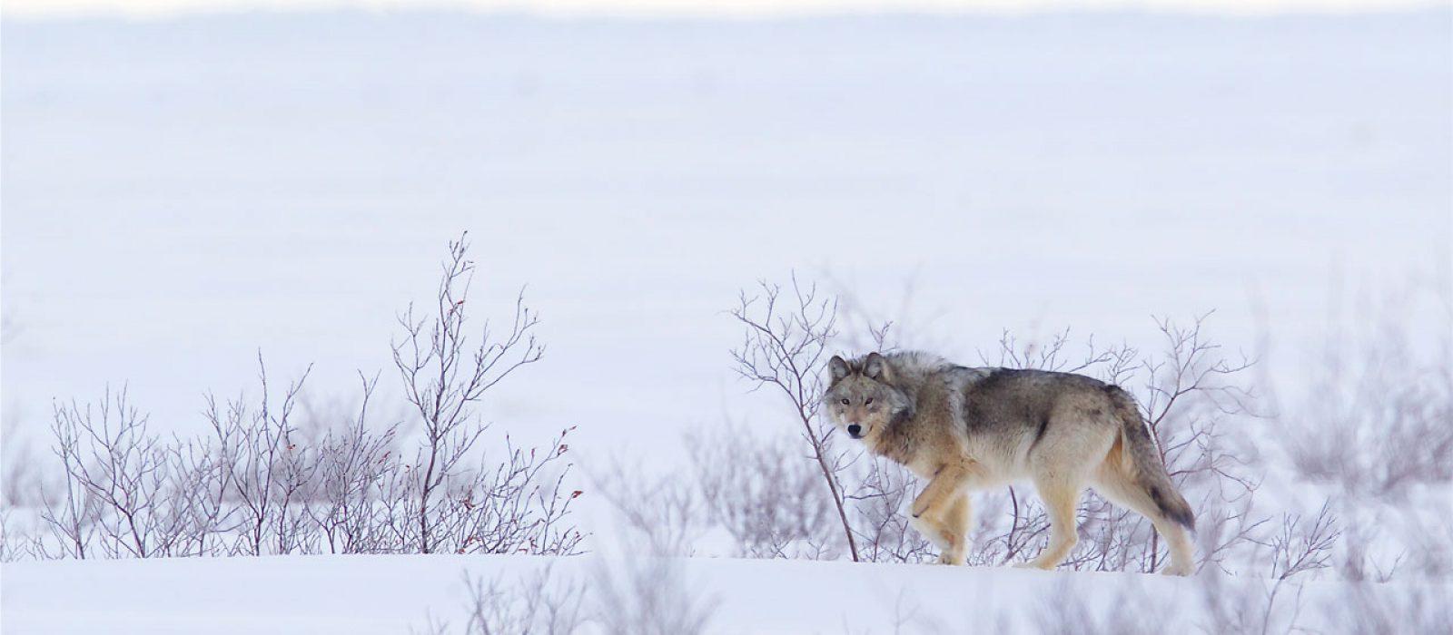 Wolf at Churchill Wild, Manitoba